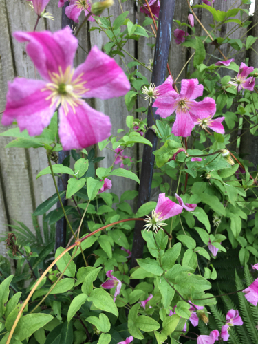 Clematis from the garden